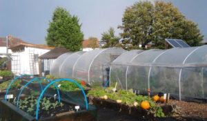 Polytunnels on allotment