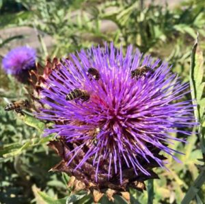 bees on artichoke thistle