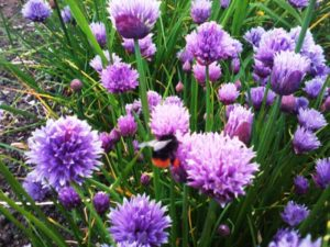 Bees on chive plants