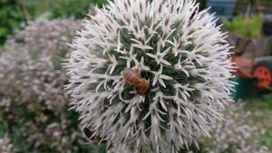 Bees on an allium flowerhead in Longs Field allotment
