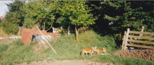 family of foxes on allotments