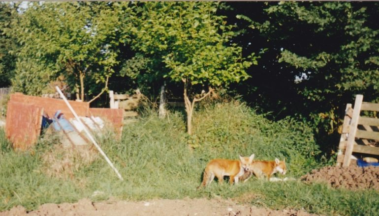 family of foxes on Golden Hill allotments