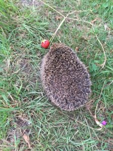 Hedgehog on Davies Field allotments