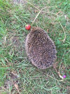 Hedgehog on Davies Field allotments