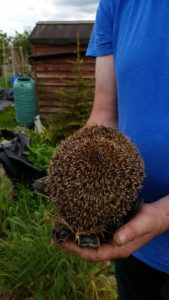 Hedgehog on Golden Hill allotments