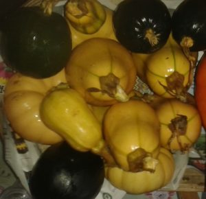 mixed squash harvest from allotment
