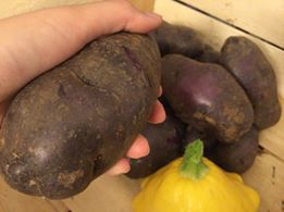 salad blue potatoes from allotment