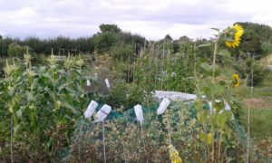 Summer crops on allotment