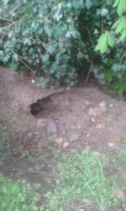 Possible badger sett on Birchall Road allotments