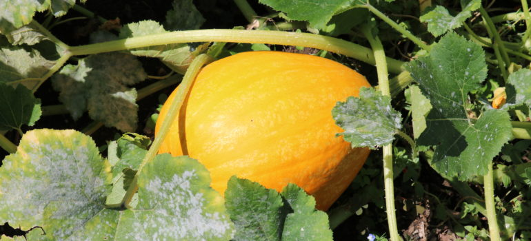Squash in Birchall Road Allotments