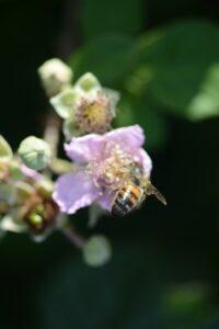 Bee on a blackberry flower