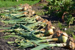 Onions drying on the ground