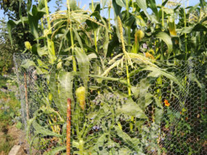 Sweetcorn protected by chicken wire