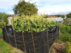 Plastic sheeting as sweetcorn protection
